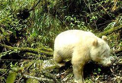 Namierzono pandę albinosa. Pierwsza taka fotografia na świecie