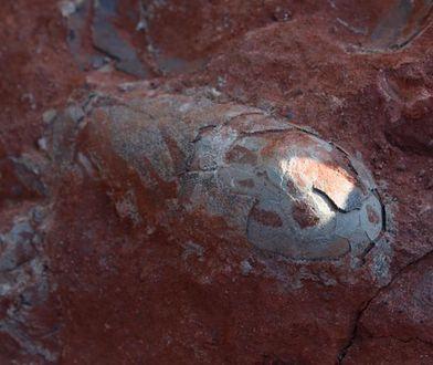 Naukowcy szacują, że jaja mają ok. 130 mln lat