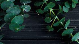Eukaliptus pod prysznicem. Zobacz niezwykłe zalety (WIDEO)