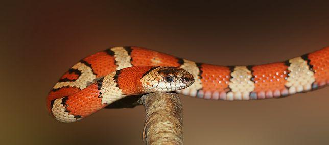 Sylwester 2020. Niemcy. Znaleziono skórę węża w jednym z domów