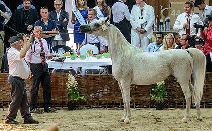 Pół miliona euro za klacz El Saghira na aukcji w Janowie Podlaskim