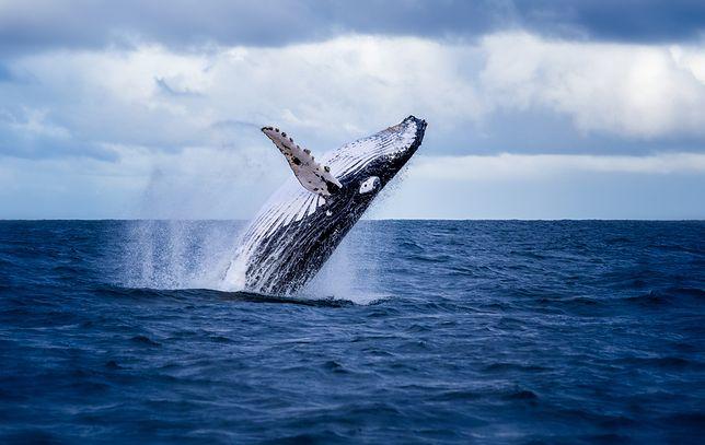 Japonia znów zabija wieloryby. Powrót do krwawej tradycji
