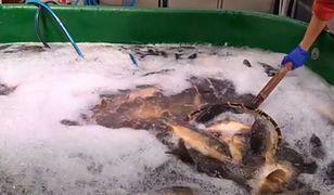 Starsi Polscy nie chcą już zabijać karpi, za to młodsi aż się do tego rwą. Ofiarą tradycji stanie się 8,5 mln ryb