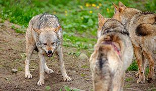 Wilki mają śmiertelnie groźnych wrogów. Poruszający post Nadleśnictwa Kolbudy
