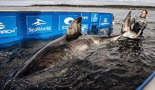 """Nukumi - ogromny żarłacz biały okrzyknięty mianem """"królowej oceanu"""""""