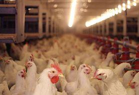 Kupujesz kurczaki po 7 zł za kilogram? Najpierw sprawdź, dlaczego są takie tanie