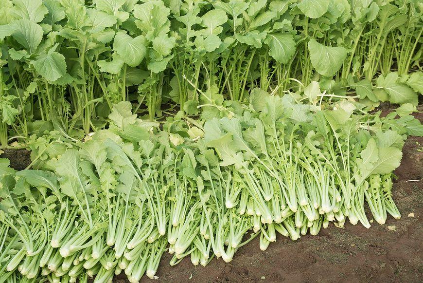 Włoska rzepa brokułowa