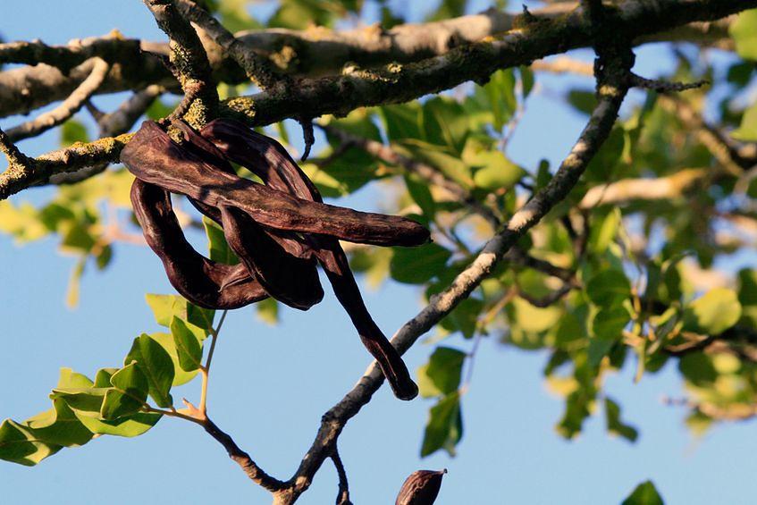 Drzewo karobowe