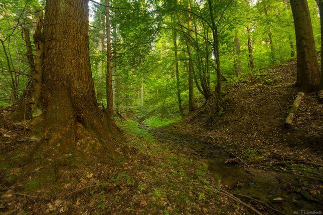 Na terenie projektowanego Turnickiego Parku Narodowego znaleziono ponad 6 tysięcy drzew spełniających kryteria drzew pomnikowych