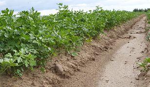 Tak wygląda idealne pole pietruszki. Czasem jednak nasiona po prostu nie wschodzą.