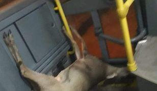 Zdjęcie sarnie zrobił jeden z pasażerów.