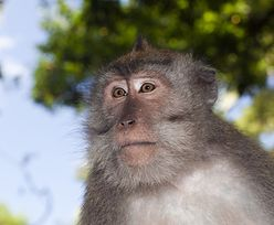 Małpa uciekła z próbkami do badań nad COVID-19. Zaatakowała pracownika laboratorium