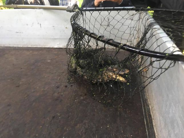 Złapany aligator trafi do zoo