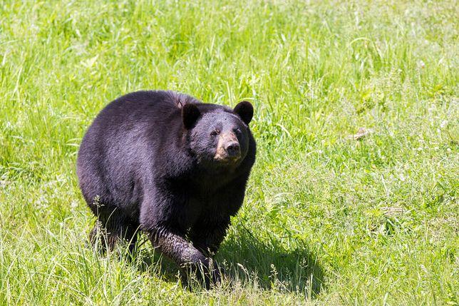 Chiny: służby odebrały 76-letniej kobiecie niedźwiedzia