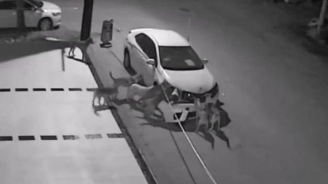 Dzikie psy w Turcji rozbierają samochód na części
