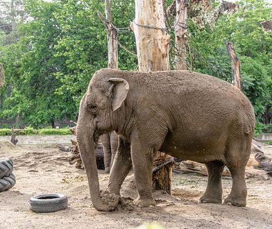Według fotografa słonie w ogóle nie powinny być zabierane z dziczy