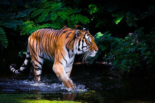 Tygrysowi amurskiemu grozi wyginięcie