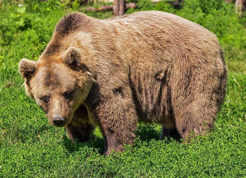 Książę zastrzelił największego niedźwiedzia w UE. Nazywał się Artur
