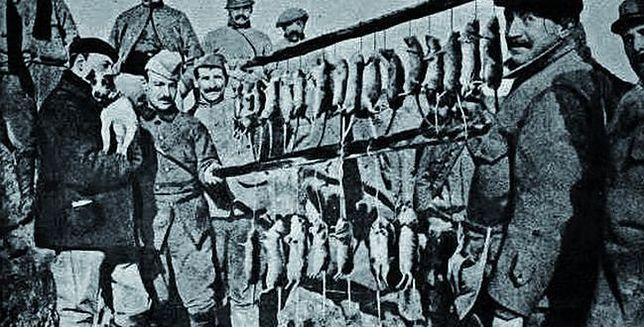 Szczury - plaga okopów Wielkiej Wojny