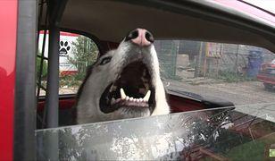 Pies zostawiony w samochodzie