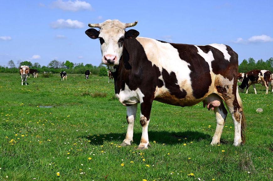 Ze zwierząt najstraszniejsza jest krowa