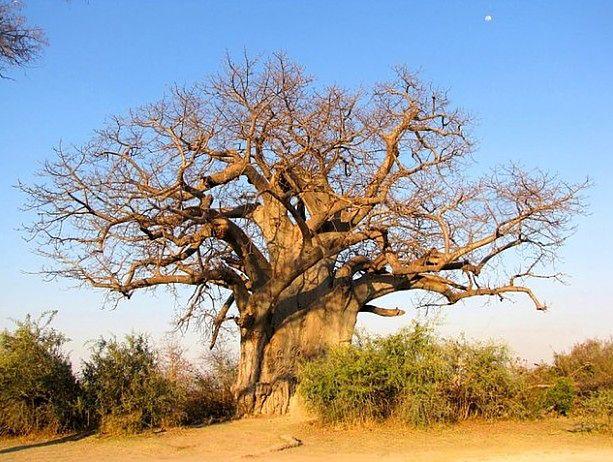 Baobab, czyli drzewo życia
