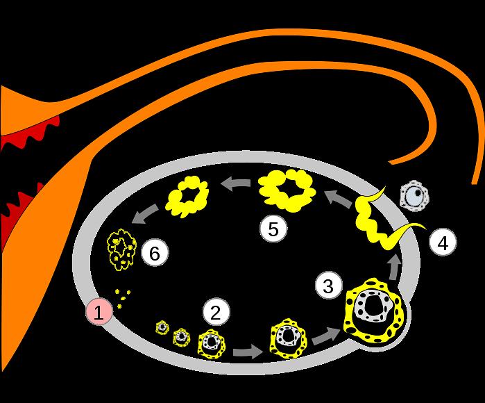 Schemat uwalniania jajeczka