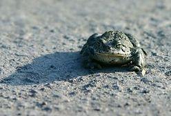 Będzie mniej żab