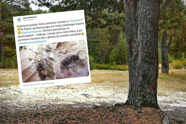Zdjęcie mrówki zombie wywołało spore poruszenie na Twitterze