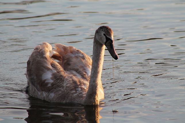 Ptasia grypa nad Zatoką Pucką. Pół tysiąca martwych ptaków