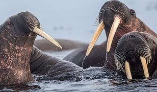 Agresywne morsy arktyczne.
