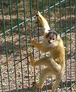 Małpa uciekła właścicielowi. Chciała się pobawić z dziećmi