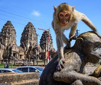 Małpi raj w Tajlandii. Makaki przejęły miasto