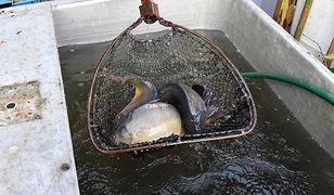 Krotoszyn. Zabijał karpie, nie ogłuszając ryb. Sąd zmienia wyrok