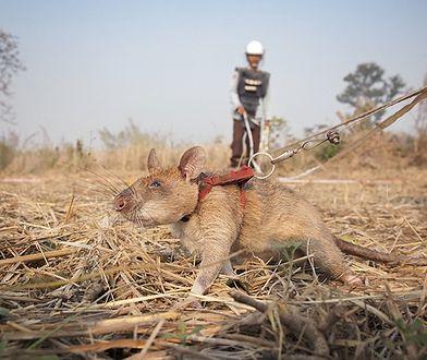 Szczur Magawa został odznaczony medalem. Zwierzęta szkolone przez organizację APOPO mają wyjątkowy talent