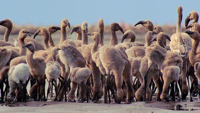 Flamingi żyją w grupie. Gdy któreś odstaje, nie dożywa dorosłości