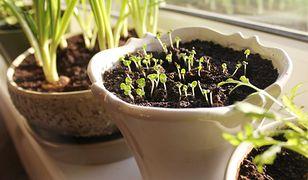 Te warzywa możesz uprawiać z resztek. Zero waste na kuchennym parapecie