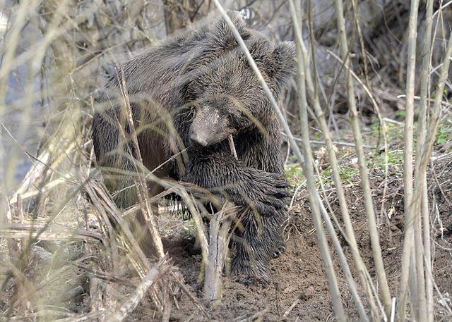 Niedźwiedź w pułapce kłusowników. Akcja ratunkowa