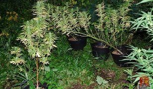 Policjanci zlikwidowali uprawę marihuany!