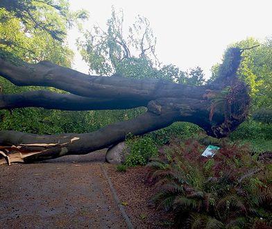 Uniwersytet Warszawski. W Ogrodzie Botaniczym zawaliło się 200-letnie drzewo