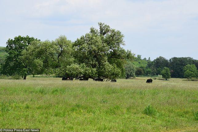 Krowy z Deszczna zostaną uratowane?