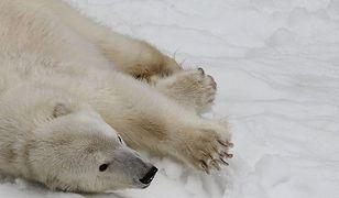 Dieta głodnych niedźwiedzi polarnych