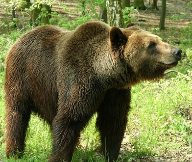 Niedźwiedzie w centrum Zakopanego. Wyjmowały jedzenie z plecaka turysty