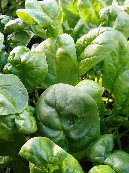 Rośliny zielonoliściaste
