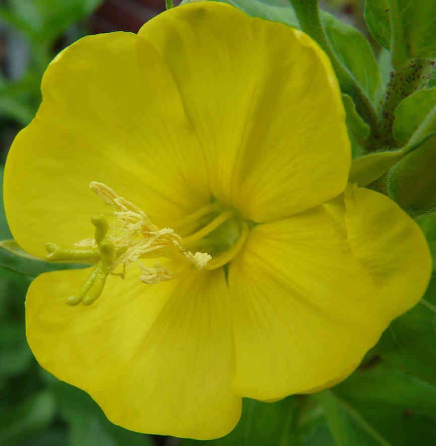 Kwiat wiesiołka