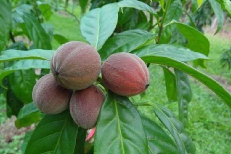Jagody blushwood - naturalne lekarstwo na raka