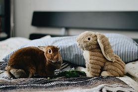 Co musisz wiedzieć, zanim zdecydujesz się na królika domowego?