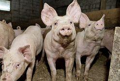 USA rezygnują z importu wieprzowiny z Polski. Powodem afrykański pomór świń