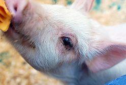 Wielka Brytania: Mężczyzna zrezygnował z wesela i miesiąca miodowego dla... świni