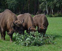 Leśnicy ostrzegają. Żubry uciekły z rezerwatu!